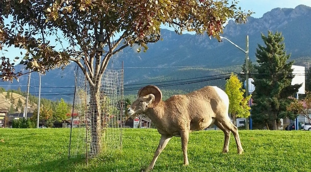 bighorn sheep are often seen roaming around the village